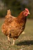 Цыплята на традиционной ферме Стоковое Фото