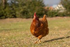 Цыплята на традиционной ферме Стоковые Фото
