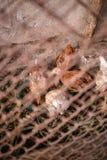 Цыплята на ферме стоковые изображения rf