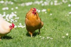 цыплята освобождают ряд стоковое изображение
