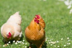 цыплята освобождают ряд стоковые изображения rf