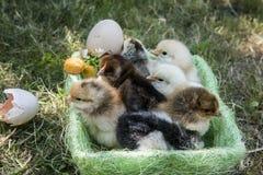 Цыплята одного дня в корзине стоковые фото