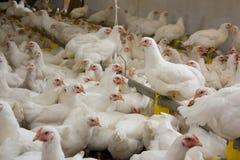 Цыплята. Птицеферма стоковые изображения