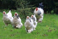 Цыплята с ходом петуха стоковое фото rf