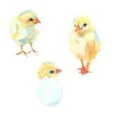 цыплята установили стоковые изображения