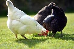 Цыплята любимчика стоковые фото
