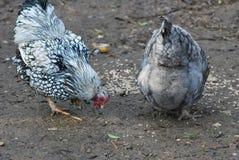 Цыплята Стоковое Изображение RF