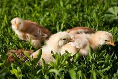 Цыплята стоковые фото