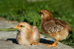 Цыплята стоковые фотографии rf