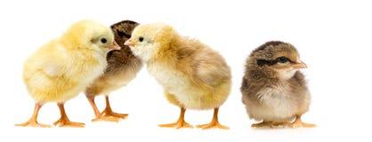 Цыплята стоковое фото rf