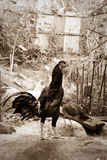 Цыплята стоковая фотография