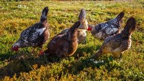 Цыплята Outdoors стоковое изображение rf