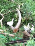 Цыплята Silkie Стоковое Изображение RF