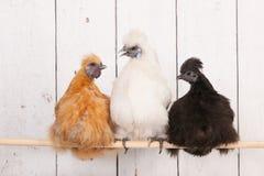 Цыплята Silkies в курятнике стоковые фотографии rf