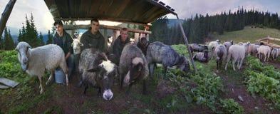 Чабаны молока овец Стоковая Фотография