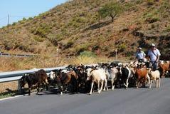 Чабаны с козами, Испанией. Стоковая Фотография RF