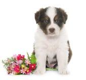 Чабан австралийца щенка Стоковое Изображение