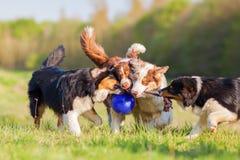 Чабан 4 австралийцев вытягивая на шарике Стоковая Фотография