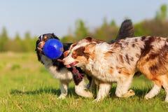 Чабан 3 австралийцев вытягивая на шарике стоковое фото