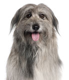 чабан близкой собаки pyrenean вверх стоковые изображения