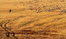 Чабан и его овцы Стоковое Изображение RF