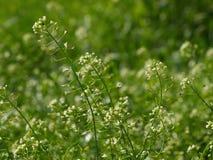 Чабан-портмоне - pastoris Бурсы Capsella Стоковая Фотография