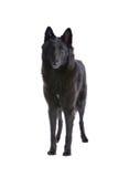 чабан собаки Бельгии стоковое фото rf