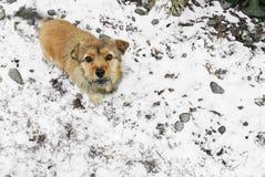 чабан собаки Коллиы breed граници Бельгии смешанный Стоковые Фото