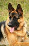 чабан собаки немецкий Стоковое Изображение RF