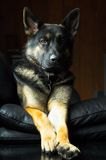 чабан собаки немецкий стоковые изображения