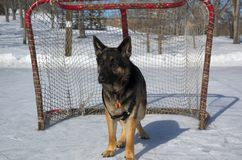чабан собаки немецкий стоковое фото rf