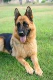 чабан собаки немецкий Стоковая Фотография
