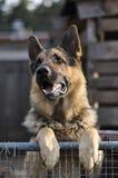 чабан собаки Стоковое фото RF