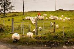 Чабан собирая стадо овец Ирландия стоковые изображения rf