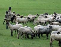 Чабан с его стадом, Lok Сербией стоковое фото rf