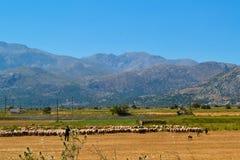 Чабан с овцами Стоковая Фотография