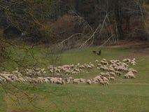 Чабан с стадом в долине стоковая фотография rf