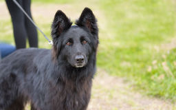 чабан черной собаки немецкий стоковое фото