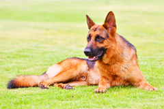 чабан 4 собак немецкий Стоковая Фотография RF