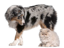 чабан 6 австралийских месяцев собаки старый Стоковая Фотография