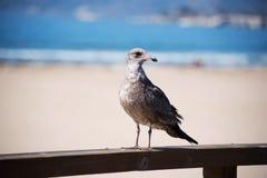 Чайка Брайна на пристани Стоковые Фото