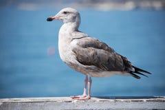 Чайка Брайна на пристани Стоковые Изображения RF