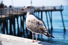 Чайка Брайна на пристани Стоковое Фото