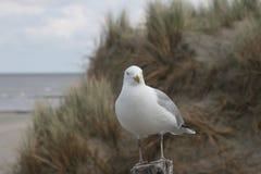 Чайка в дюнах стоковая фотография rf