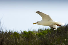 Чайка в летании воздуха Стоковые Изображения