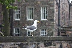Чайка в замке Эдинбурга Стоковые Изображения