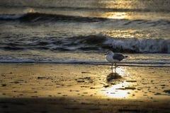 Чайка в заходе солнца Стоковые Фото