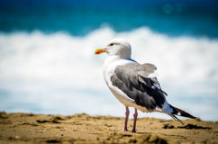 Чайка в Калифорнии Стоковые Фотографии RF