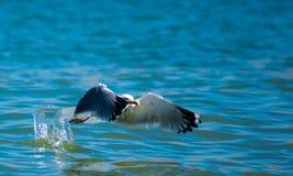Чайка в мухе Стоковые Фотографии RF