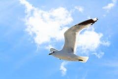 Чайка в небе Стоковые Изображения RF